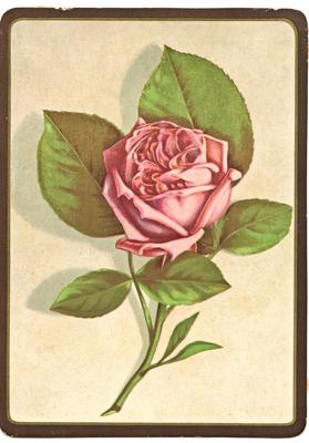 rosa vittoriana